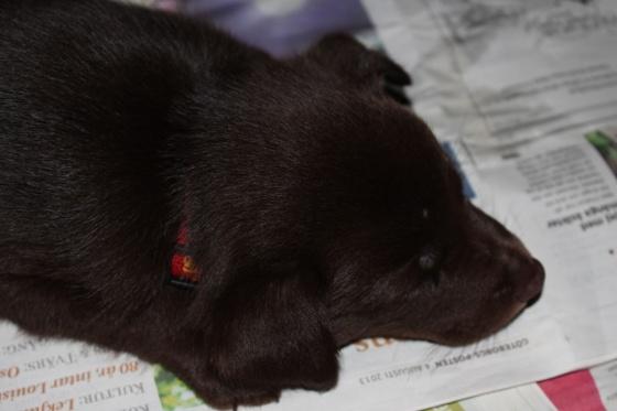 Lilla röd sover